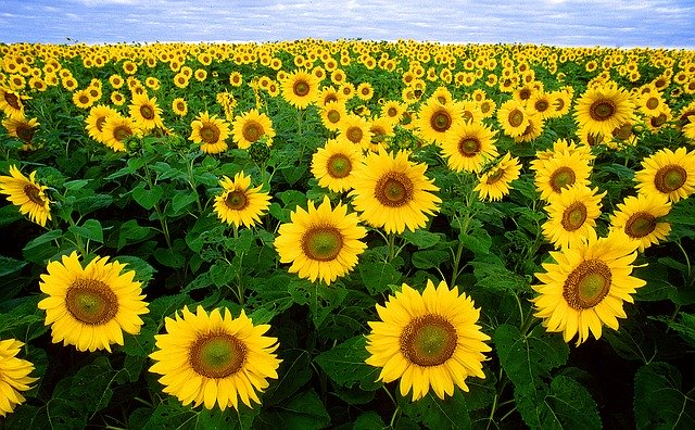 sunflowers in ontario
