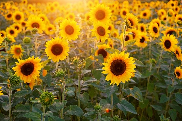 sunflowers near me