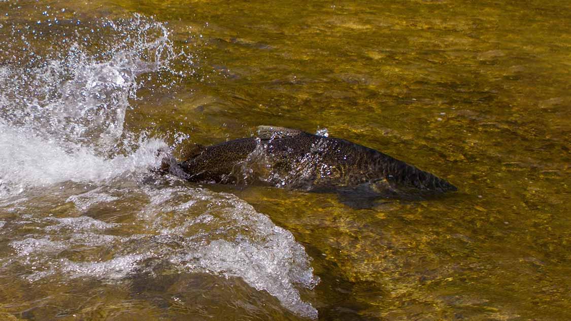 Salmon Run in Toronto