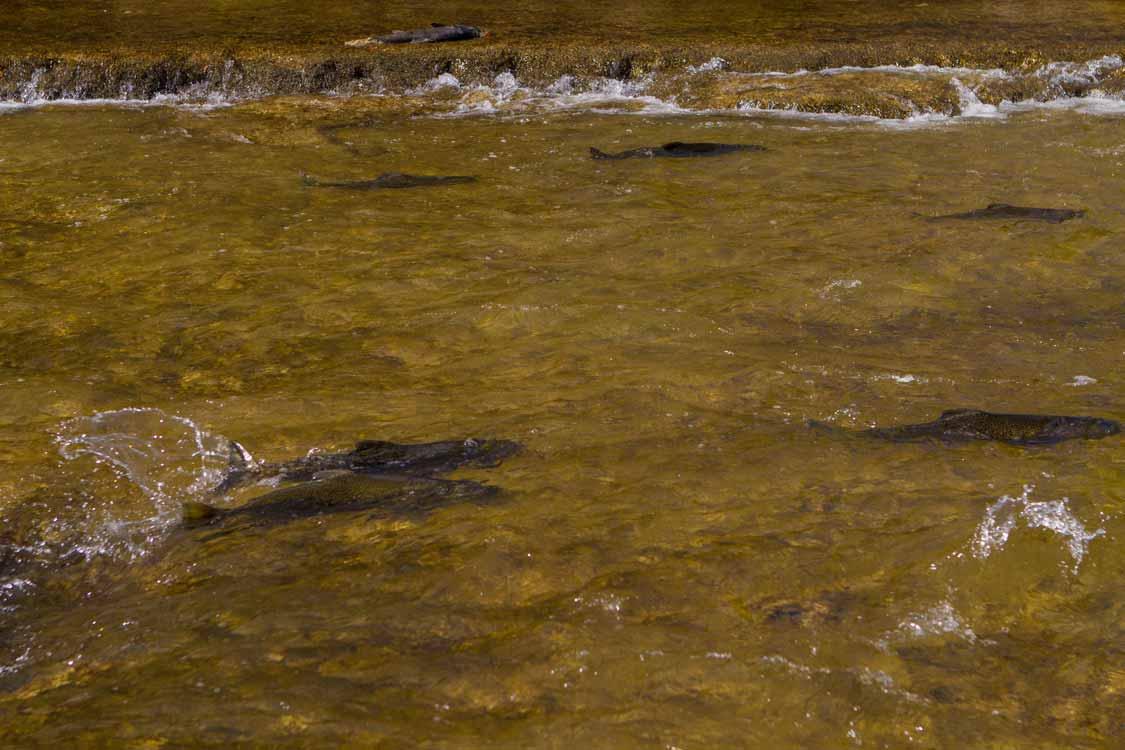 Salmon in the Ganaraska River in Port Hope