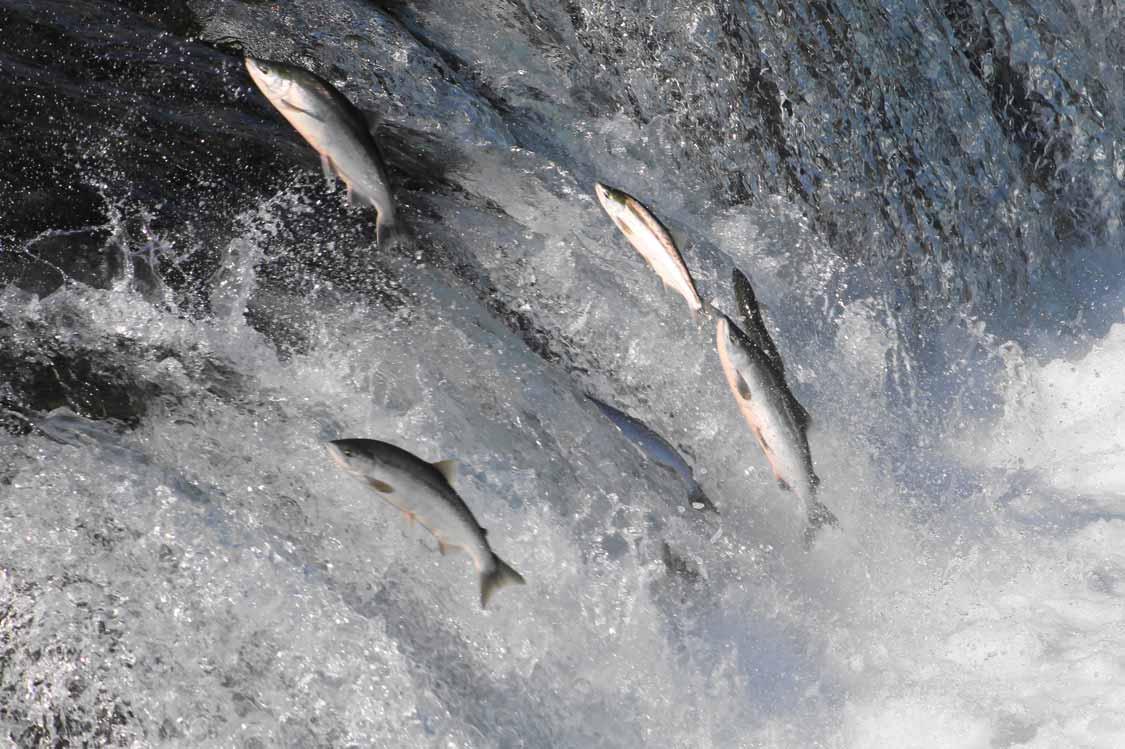 Salmon jumping in Toronto