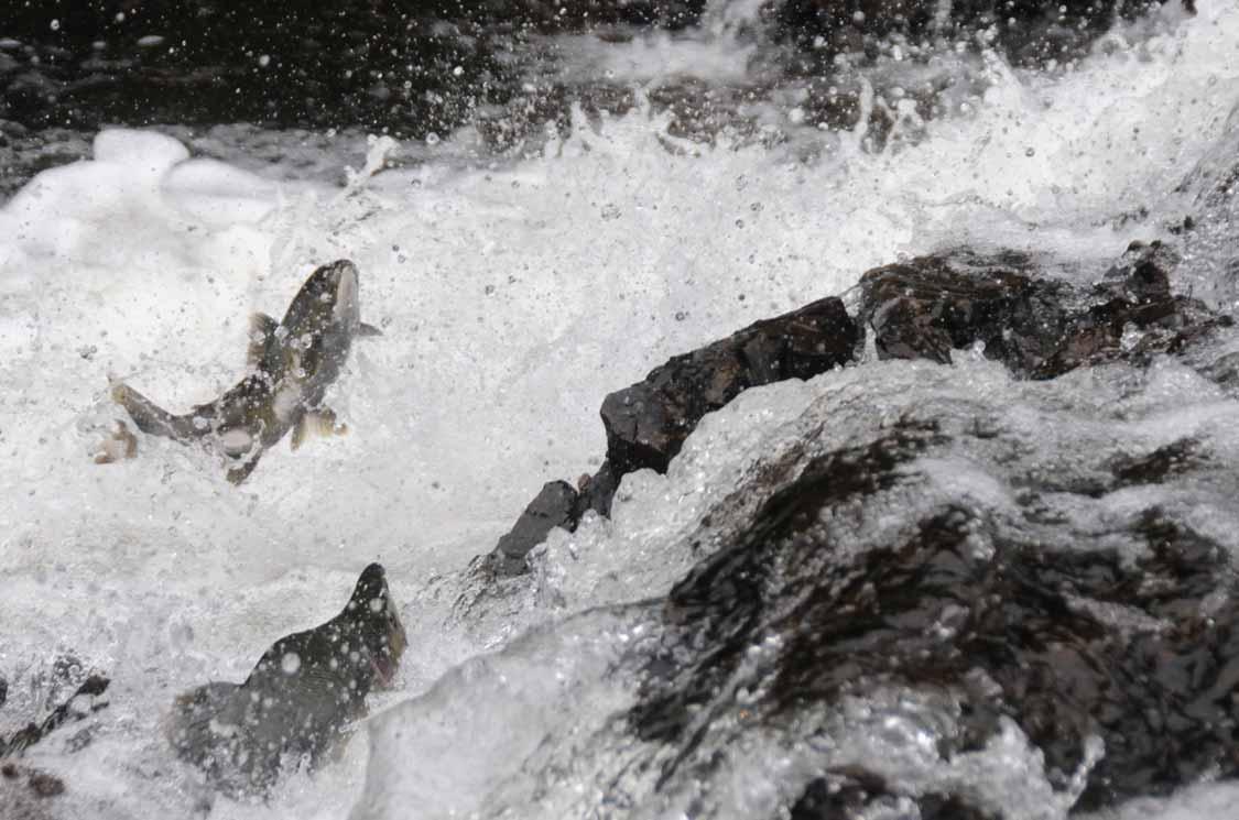 Salmon swimming in Toronto