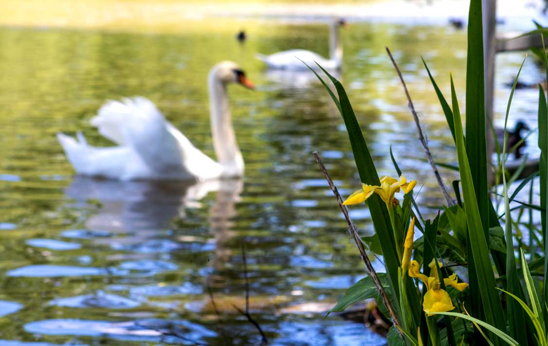 Swans and Flowers along the Avon River