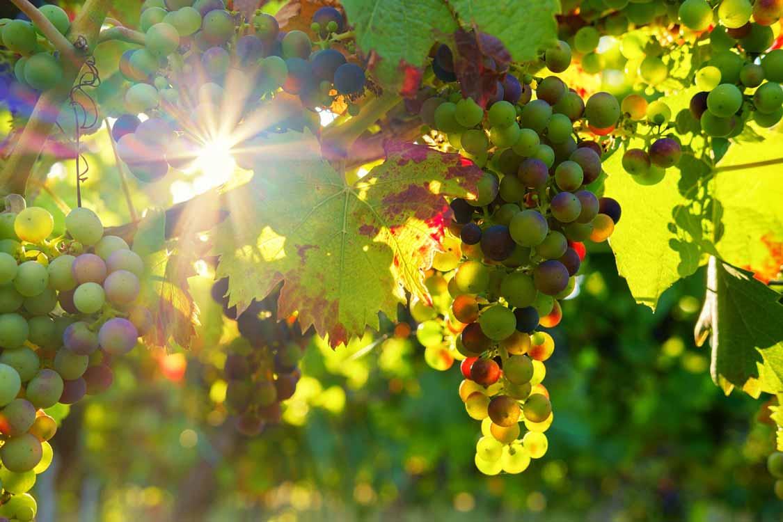 Vineyard in Prince Edward County